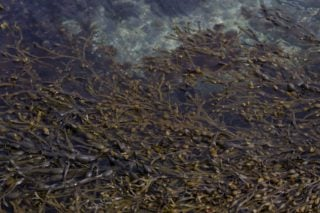 Seaweed for biostimulation