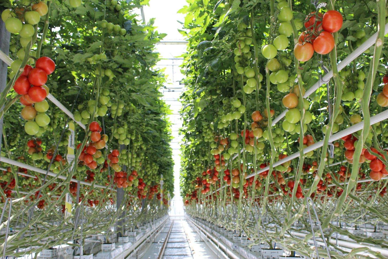Greenhouse_tomato